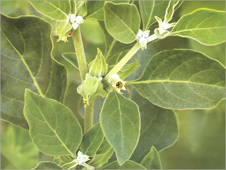 ASHWAGANDHA: Uses, Benefits, Side-effects, Dosage?