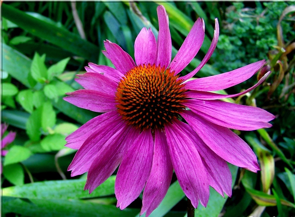 Echinacea Purpurea - EN SAVOIR PLUS CLIQUEZ