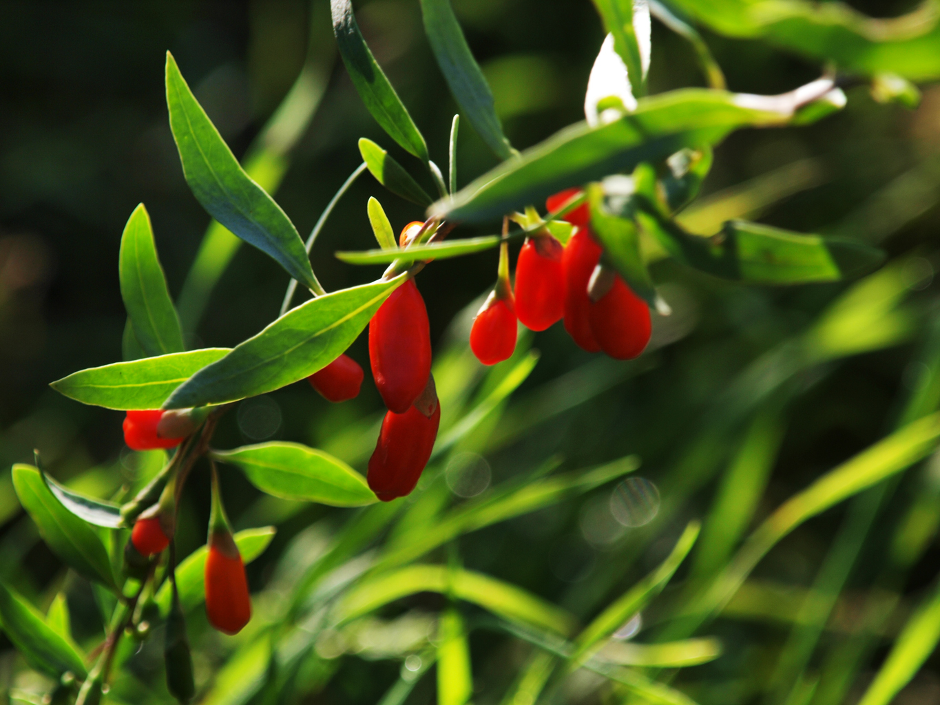 Goji Berry Uses Benefits Side Effects Dosage