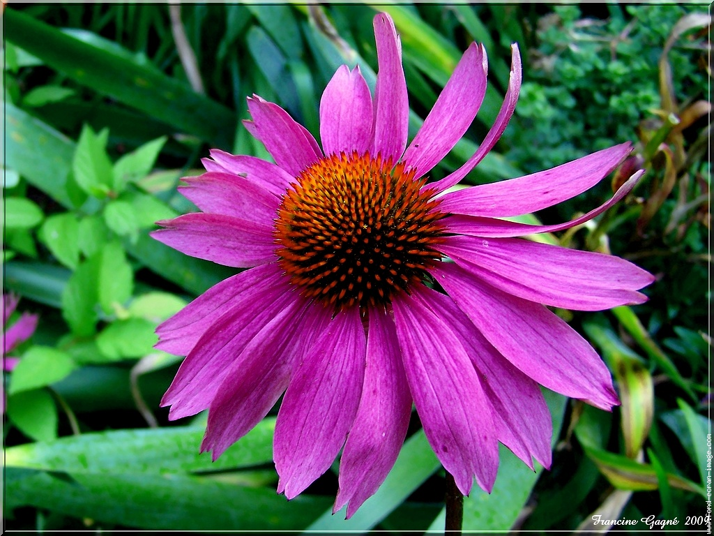 echinacea uses benefits side effects dosage. Black Bedroom Furniture Sets. Home Design Ideas