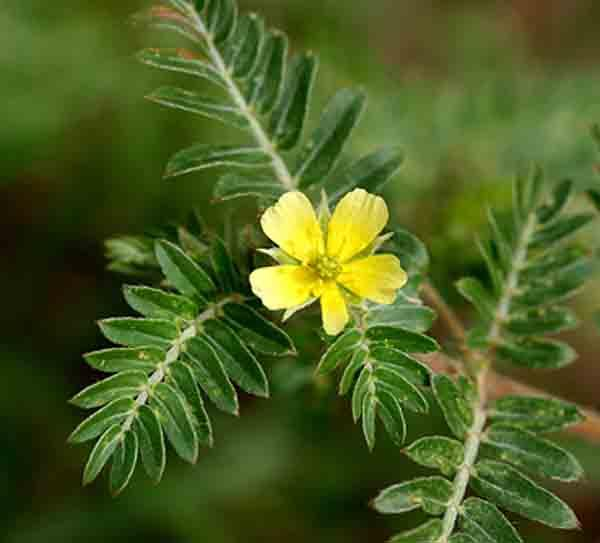 TRIBULUS TERRESTRIS: Uses, Benefits, Side-effects?
