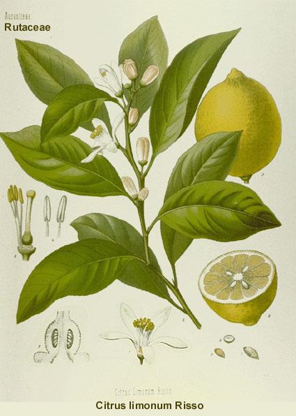 citron candida