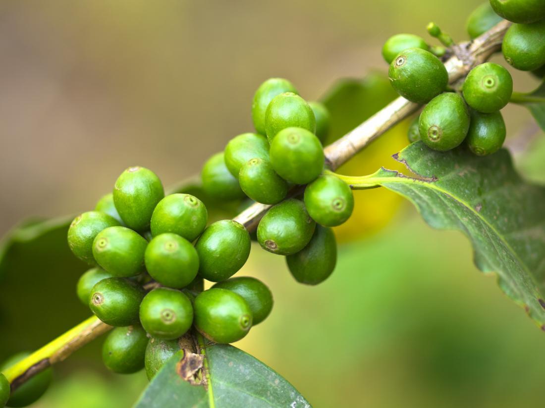 prostate de café vert